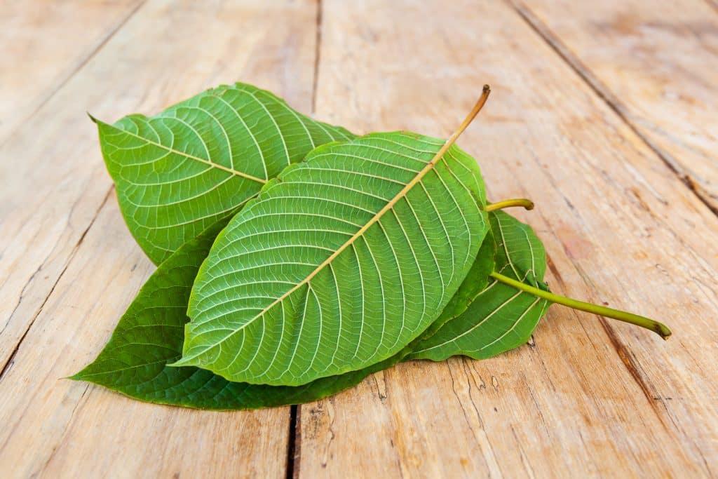 Fresh kratom leaves on a wooden table