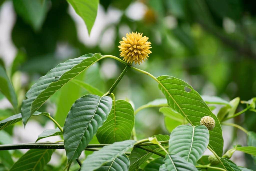 Mitragyna speciosa (kratom) a plant in thailand