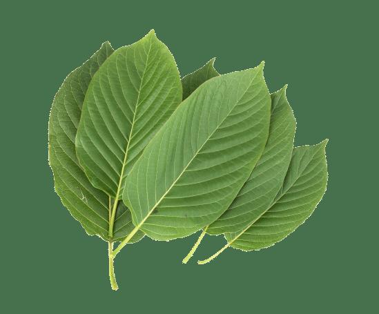 Kratom (Mitragyna speciosa) leaves over white background